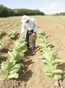Muy buenas las declaraciones del Director Ejecutivo del INTABACO, con respecto al ya reducido virus que preocupó a los cosecheros de la aromática hoja.